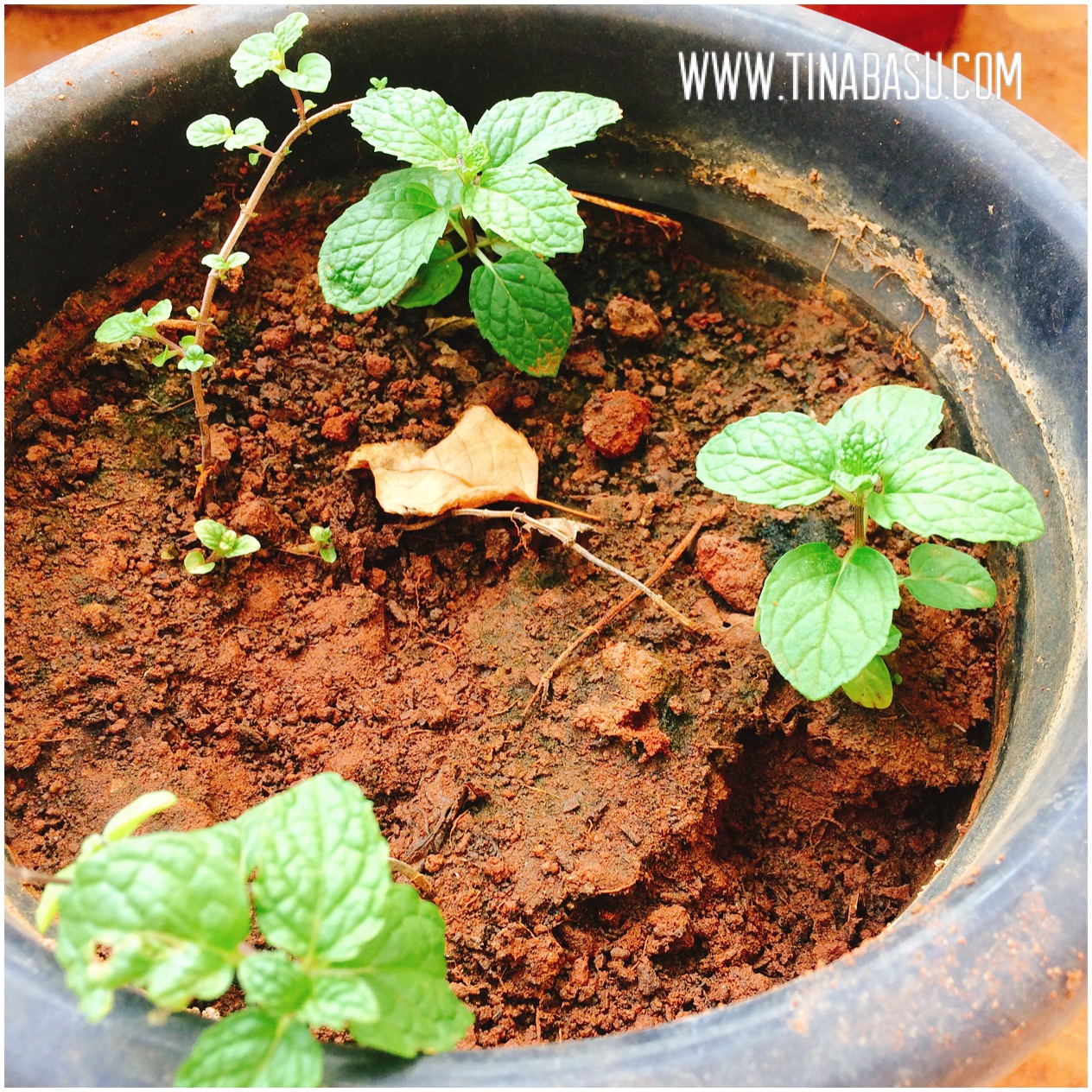 mint planting container gardening