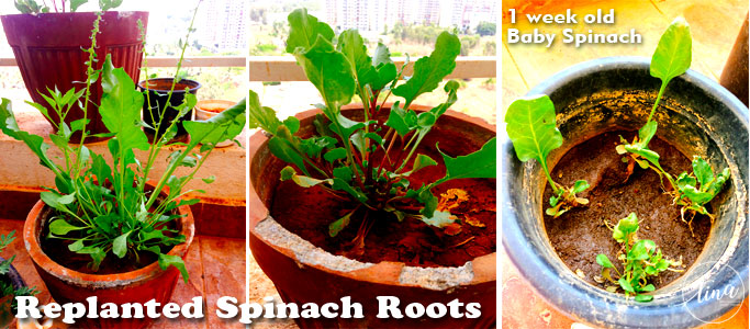 grow-spinach-from-roots-replanted-spinach-container-gardening