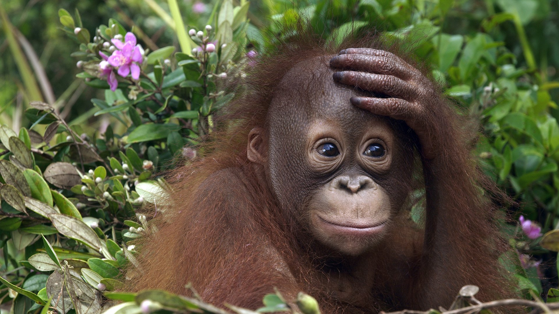 orangutan care - places to visit in malaysia